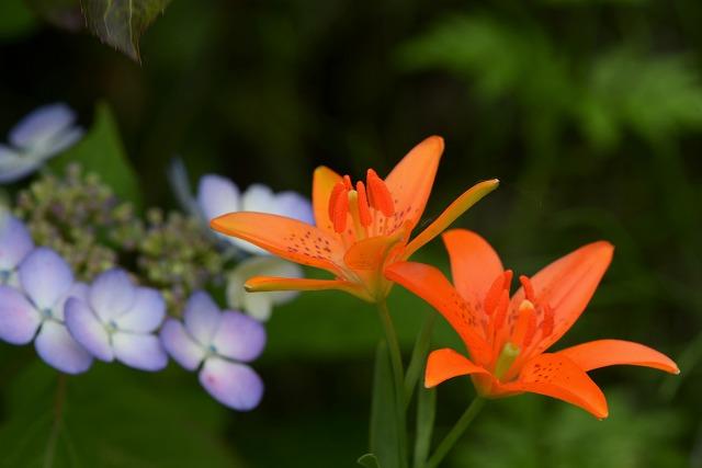 姫百合と山紫陽花1