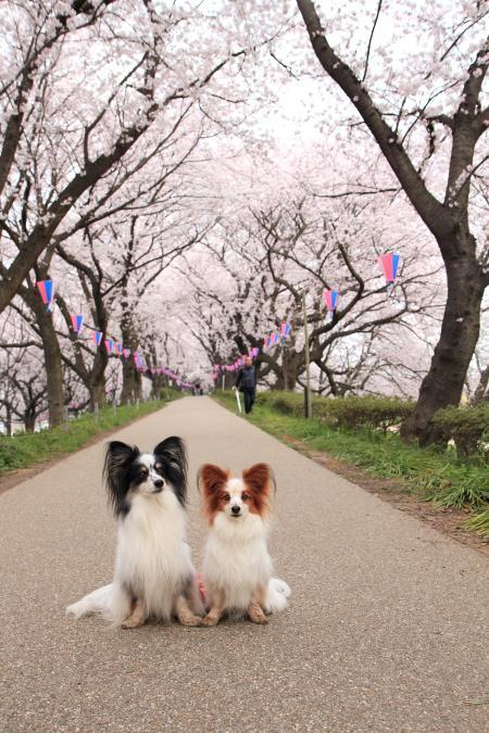 権現堂桜堤 4/1/2015
