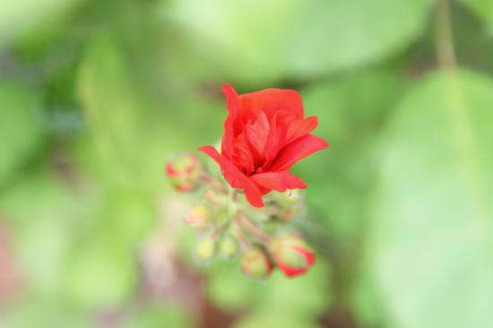 庭の花 4/29/2015