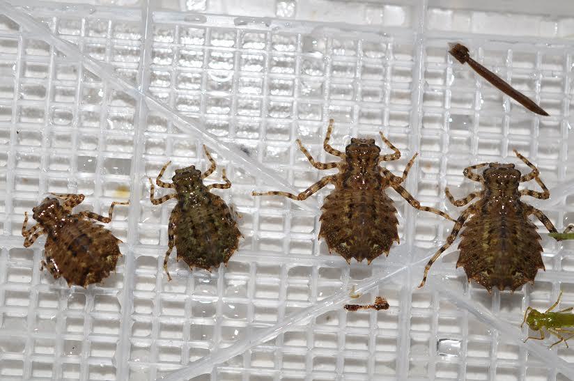 タイリクオオサナエ幼虫