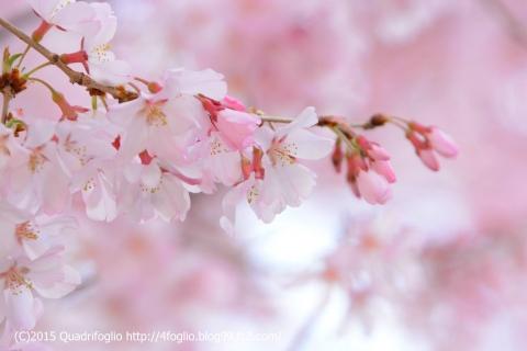 2015年 小彼岸桜