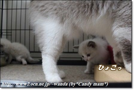 ラグドール 仔猫写真