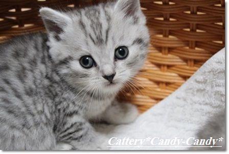 スコティッシュ 仔猫写真