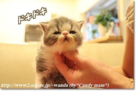 エキゾチック 子猫写真
