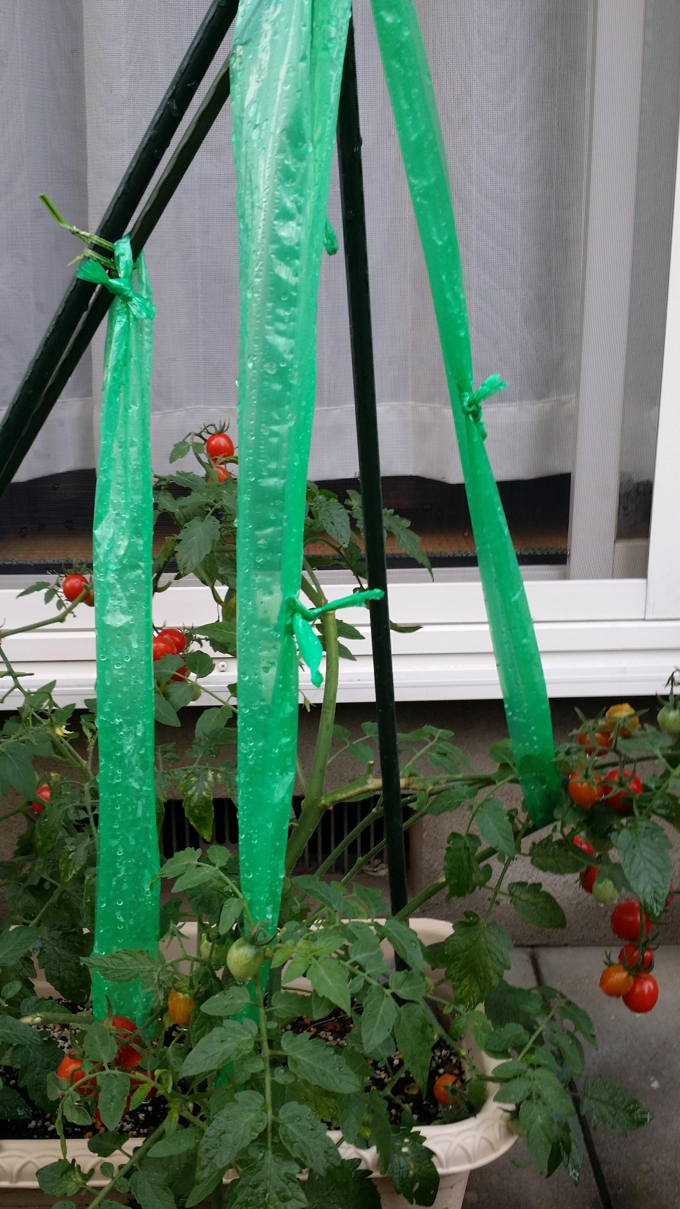 プチトマトの栽培