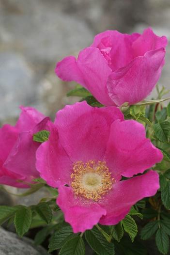 ハマナス花