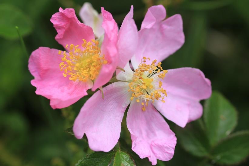 コハマナス花