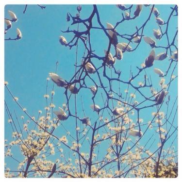 木蓮の蕾が開く頃には…