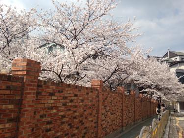 イデキャンパスも桜の見ごろとなりました^^
