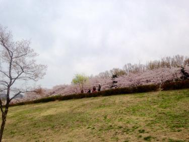 桜の見ごろもあとわずか…