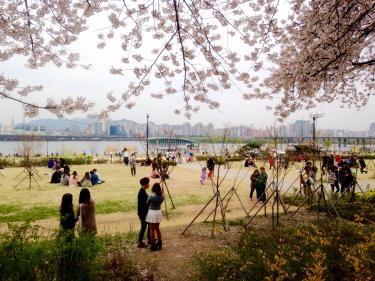 日本とは異なる花見スタイルの韓国