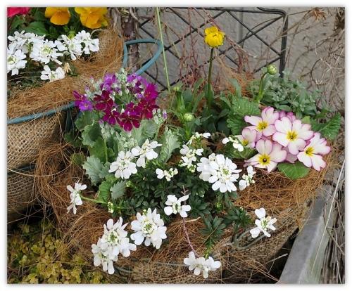 春の寄せ植え1