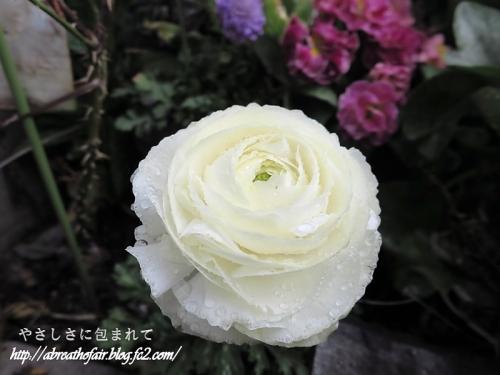 庭の花達1_ラナンキュラス