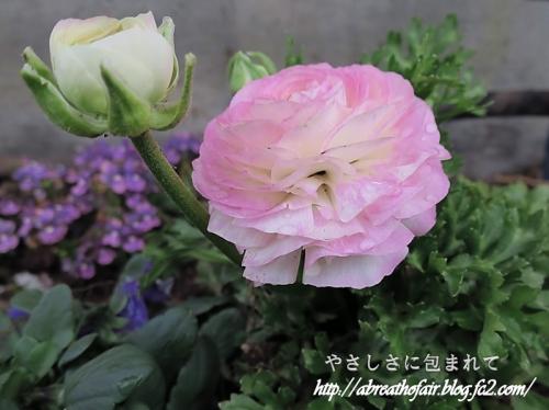 庭の花達2_ラナンキュラス