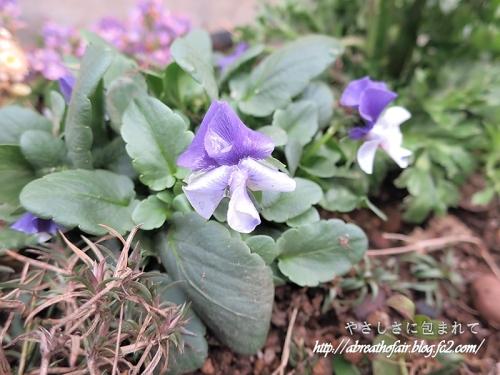 庭の花達6_象鼻パンジー