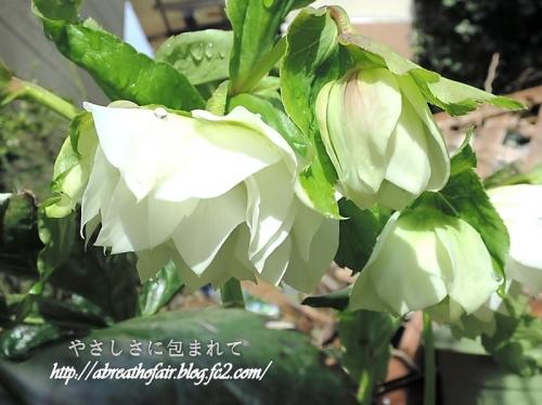 庭の花達8_クリスマスローズ