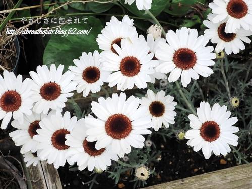 庭の花達9_ローダンセマム