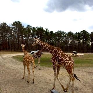 safari_giraff.jpg