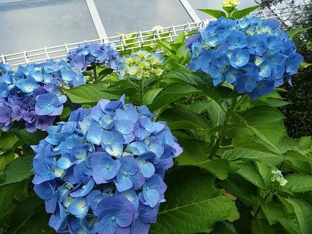 1株の紫陽花①2015年6月13日