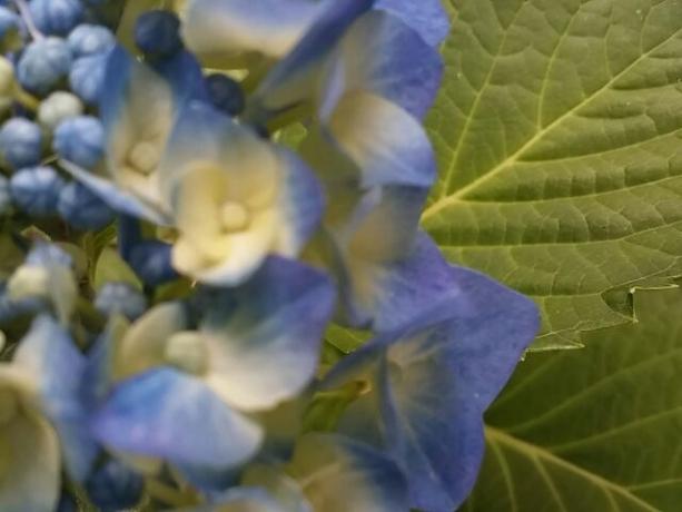 庭の花②紫陽花