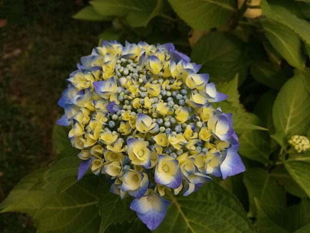 庭の花①紫陽花