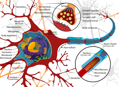 800px-Complete_neuron_cell_diagram.png
