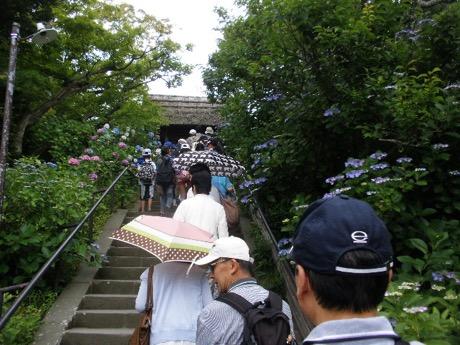 アジサイの鎌倉