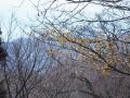 濃黄のマンサク