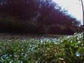 畦道のオオイヌノフグリ