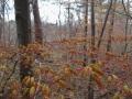 春の紅葉(ヤマモミジ)