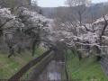 三居沢の桜も見頃になってきました