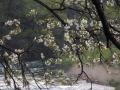 川縁の山桜