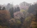 青葉城址の山桜
