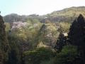 山桜が眩い山