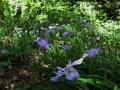 満ち咲くヒメシャガ