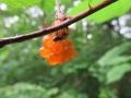 オオチャイロカスミカメの幼虫