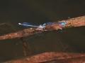セスジイトトンボの雌雄