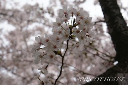 150402桜