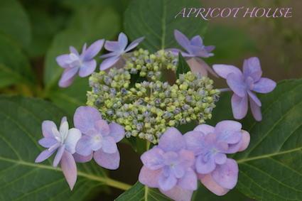 150602紫陽花