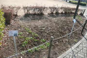 さんさん広場花壇 (4)
