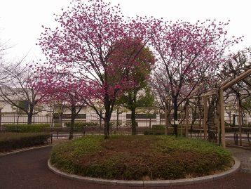 20150319カンヒザクラ(交通園) (2)