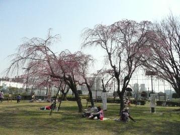 20150330ソメイヨシノ・ヤエベニシダレ【健康広場】 (2)