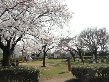 20150330ソメイヨシノ・ヤエベニシダレ【健康広場】 (4)