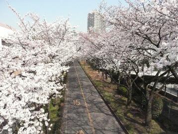 20150330ソメイヨシノ(荒川8丁目口) (3)