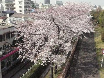 20150330ソメイヨシノ(荒川2丁目口) (5)