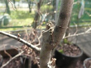 20150330オオムラサキ幼虫・エノキ (1)