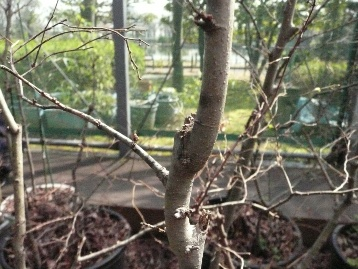 20150330オオムラサキ幼虫・エノキ (3)