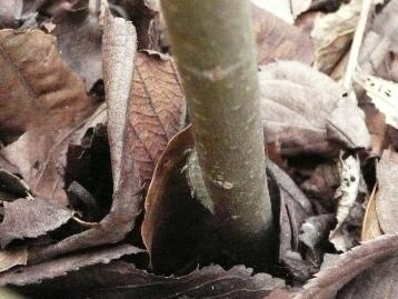 20150330オオムラサキ幼虫・エノキ (5)