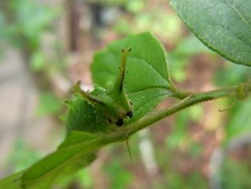 150425オオムラサキ幼虫 (14)