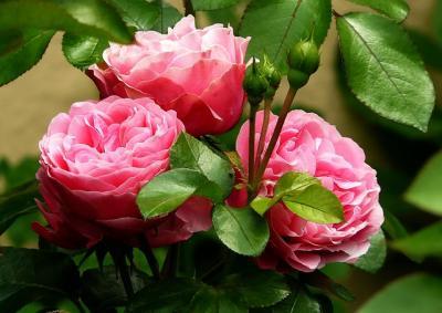 roses-279583_640_convert_20150530210048.jpg